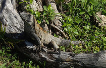 iguana_cenote_animals